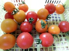 Sweet summer tomatoes